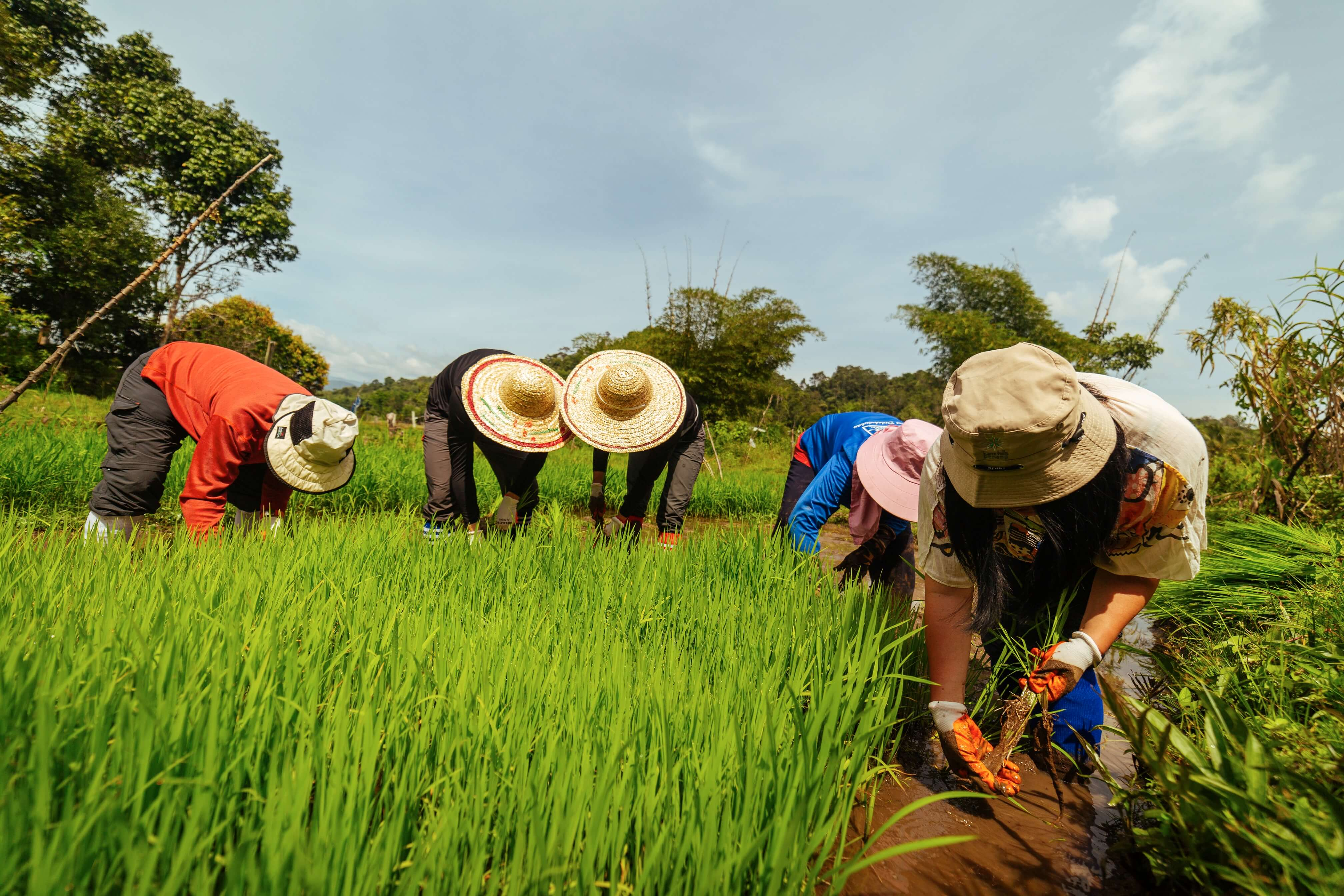Travellers bent over as they make their way through a field planting rice seedlings, sheltered from the sun by wide-brimmed hats and long sleeves and trousers.